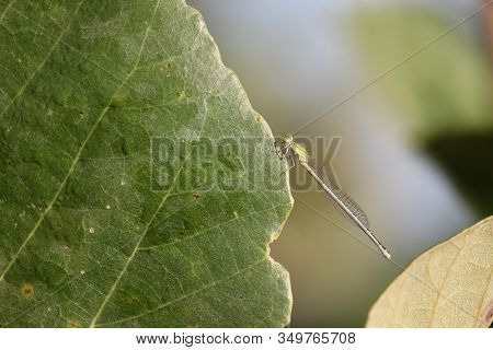 Close- Up Of A Single Male Dragonfly Insect Resting On Green Big Leaf In Nature, Outdoor Dragonfly I