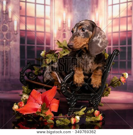 Dachshund dog portrait, merle colors