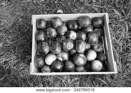 Farming Concept. Apples Red Ripe Fruits In Wooden Box On Grass. Apple Harvest Concept. Ripe Organic