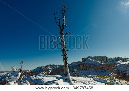 Dry Tree In Bryce Canyon National Park In Southwestern Utah