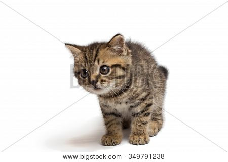 Scottish Ginger Straight Kitten Look At Something.