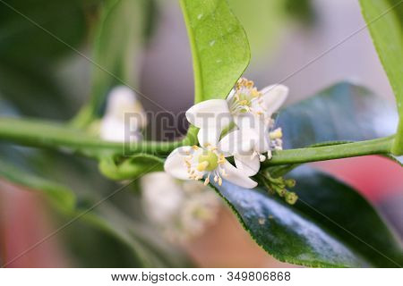 Small Delicate White Flowers Of Citrus Plants Kaffir Lime, Citrus Hystrix With Light Green Young Lea
