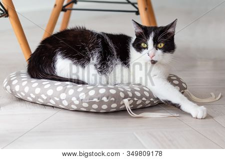 A Home Cat Is Resting On A Pillow. Monochrome. Pets