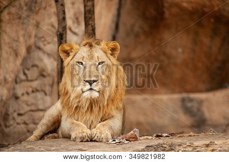 Big Lion Wild Animal In The Nature Habitat. Indian Wildlife. Lions Leader. Lion King.