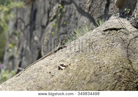 Small Lizard On Rock Nature Detail Summer Photo