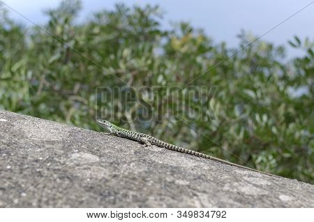 Small Lizard On Rock Detail Summer Photo