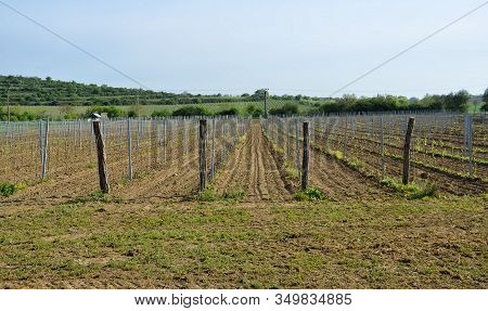Vineyard Part In Spring At South Moravian