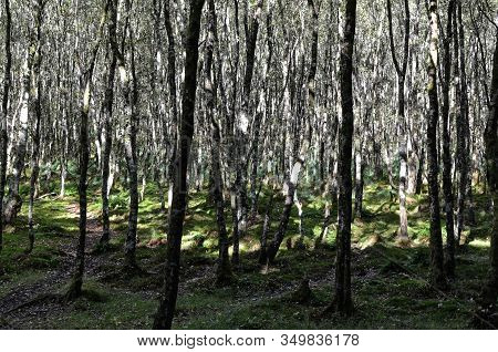 Lot Of Small Thin Trees In Sunny Day In Nature Park