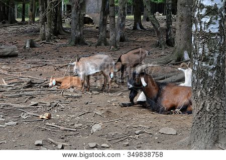 Goats At The Small Farm In The Forest Photo