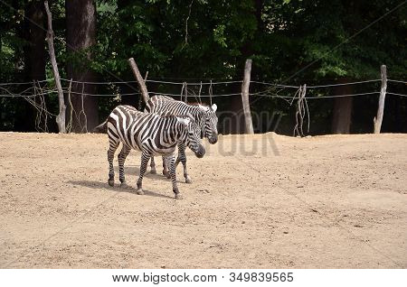 Two Zebras In Local Zoo Walking In Summer Photography