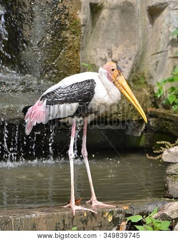 Standing Painted Stork Big Bird Detail Photography Near Waterfall