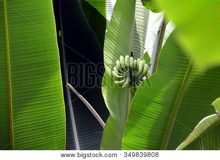 Small Bananas On Banana Tree And Green Leaves Photography