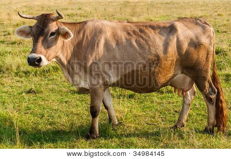 Potrait of brown cow gazing on a fresh pasture