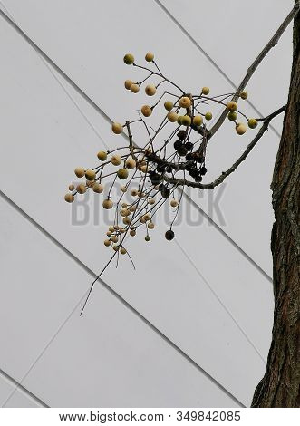 Bare Tree With Some Fruits And Seed Pods In Winter Against Blue Sky