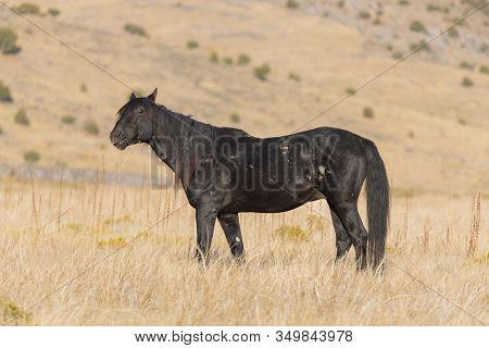 A Majestic Wild Horse In Fall In The Utah Desert
