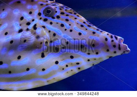 Close Up Of A Beautiful White And Yellow Stripes Triggerfish