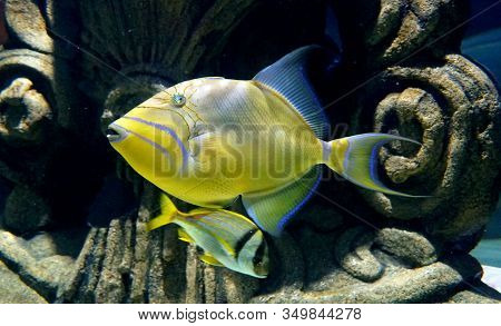 Close Up Of A Beautiful Yellow Queen Triggerfish