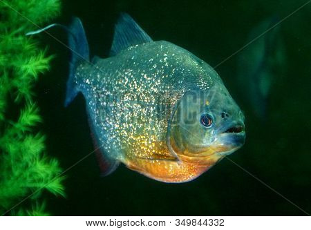 Close Up Of A Red-bellied Piranha Inside An Aquarium