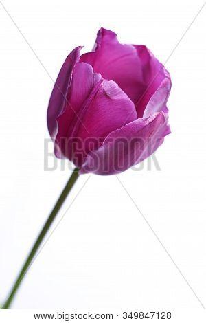 Purple Tulip (tulipa) Closeup Isolated Against A White Background.