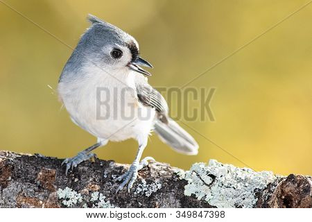 Tufted Titmouse Perched On An Autumn Branch