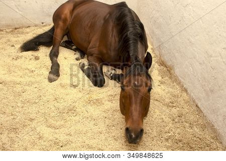 Sorrel Horse Is On The Sawdust In A Stall Craning His Neck
