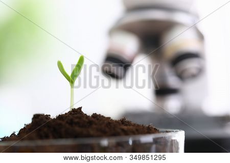 Successfully Growing Green Sprouts In Laboratory. Small Green Sprout Grows In Glass Bulb In Soil. In