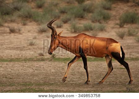 Red Hartebeest, Alcelaphus Buselaphus Caama Or Alcelaphus Caama Walking In Dry Kalahari Sand In Kala