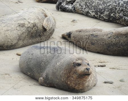 Harbor Seal Enjoying A Day On The Beach, At The Carpinteria Harbor Seal Preserve On The Coast Of Cal
