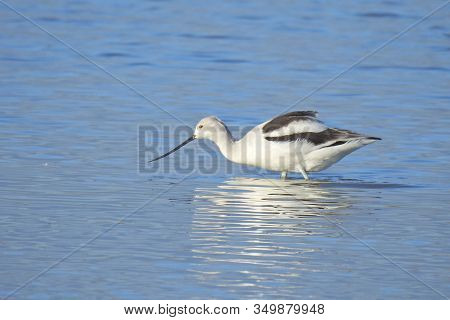American Avocet Wading In The Shallow Waters Of The Merced National Wildlife Refuge, In The Northern