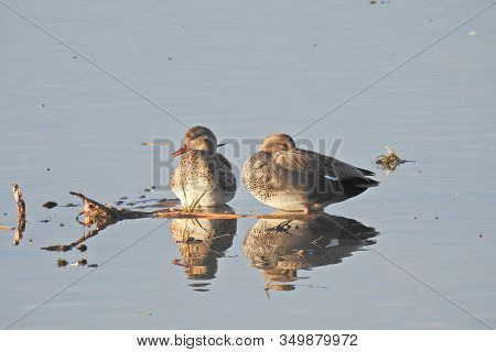 A Pair Of Gadwall Ducks Resting In The Shallow Waters Of The Merced National Wildlife Refuge, Califo