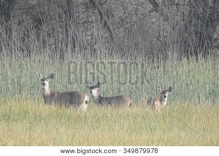 Mama Black-tailed Deer And Her Two Young Ones Making Their Way Through The Tall Grass In The San Lui