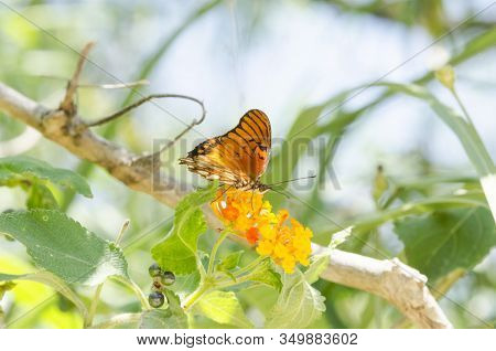 Dione Moneta Butterfly Over Lantana Camara Orange Yellow Flower, In The Costanera Sur Ecological Res