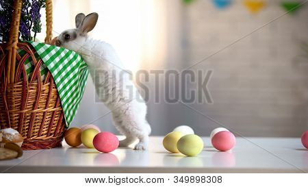 Curious Easter Bunny Looking Into Basket, Religious Festival, Colored Eggs