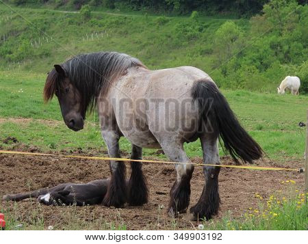 Black Foal Soundly Sleeping, Roan Draft Horse Mare Standing Next To It In A Green Pasture On Summer