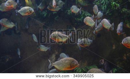 Many Predatory Piranhas Under Water With Algae