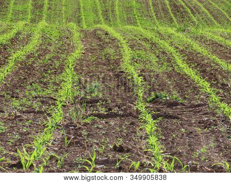 Field Of Corn Sprouts Germinating, Sun From Behind Results In Hi-vis Color, Close Up