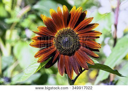 Helianthus Annuus Known As Sunflower Earthwalker In British Park