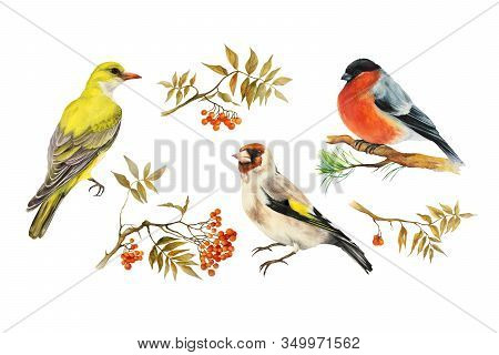 Three Birds: Goldfinch Bird (carduelis), Oriole, Yellow Bird, Bullfinch Bird (carduelis), And Three