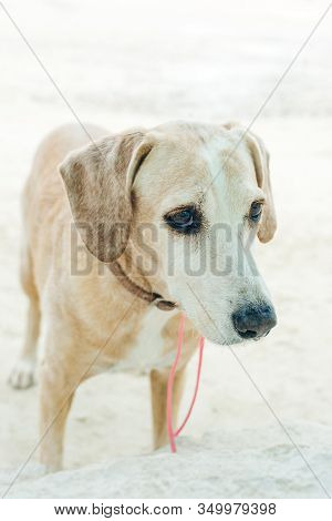 Portrait Of The Mutts Beagle. The Dog Is Beige. Sad Eyes And A Collar