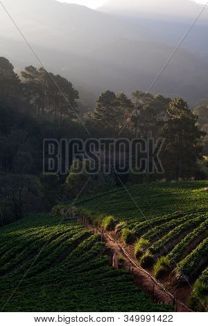 The Scenery Of The Strawberry Farm At Sunrise Time With A Beautiful Row Of Strawberries At Nolae Vil