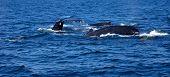 Humpback whales swimming in Stellwagen Bank Atlantic Ocean poster