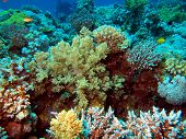 Pictures of the underwater world of Red sea: soft coral poster