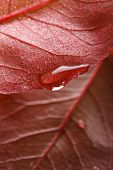 waterdrop on a edge of red leaf shallow dof poster