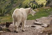 A mountain goat on the trail to the hidden lake at the Glacier National Park Montana. In the Logan pass area. poster