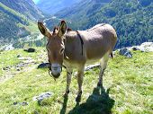 a donkey pasturing in high mountain place poster