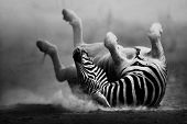 Zebra rolling in the dust (Artistic processing) poster