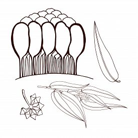 Set Of Eucalyptus Sprigs And Trees. Eucalyptus Grove. Leaves And Buds On A Twig. Use For Logos Of Co