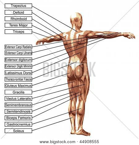 3D male or human anatomy, a man with muscles and text isolated on white background poster