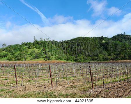 Rows of vine in spring season in Napa Valley, California