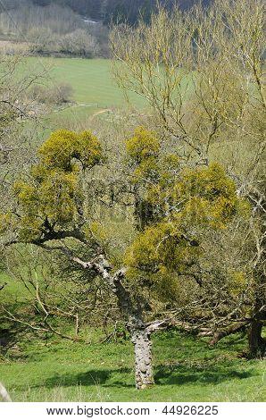 Mistletoe in old orchard tree